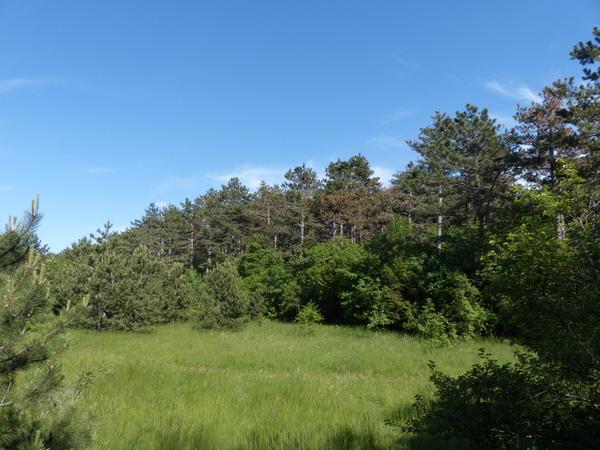 Pinus nigra J.F.Arnold subsp. nigra