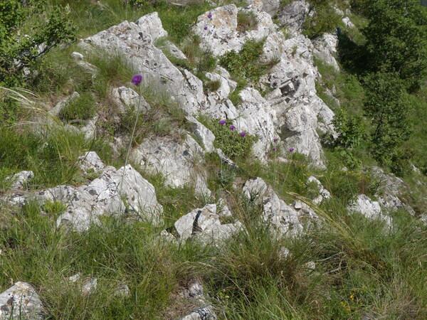 Jurinea mollis (L.) Rchb. subsp. mollis