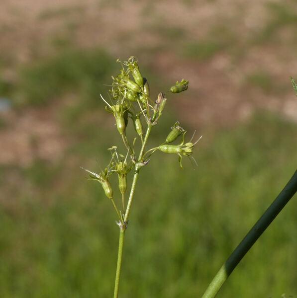 Silene otites (L.) Wibel subsp. pseudotites (Rchb.) Graebn. & P. Graebn.