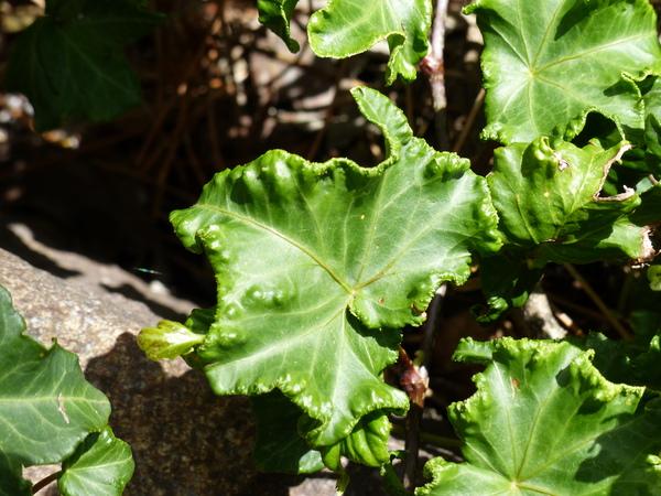 Hedera helix L. 'Olive Rose'
