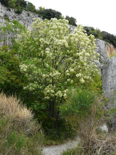 Fraxinus ornus L. subsp. ornus