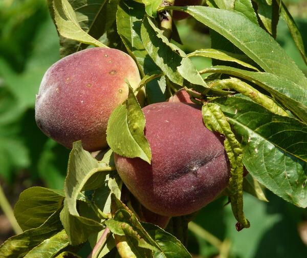 Prunus persica (L.) Batsch