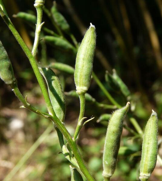 Delphinium consolida L. subsp. consolida