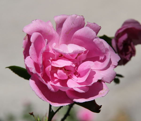 Rosa 'Adam Messerich'