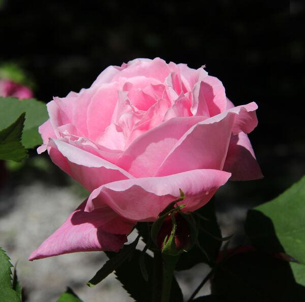 Rosa 'Mrs R.G.S. Crawford'