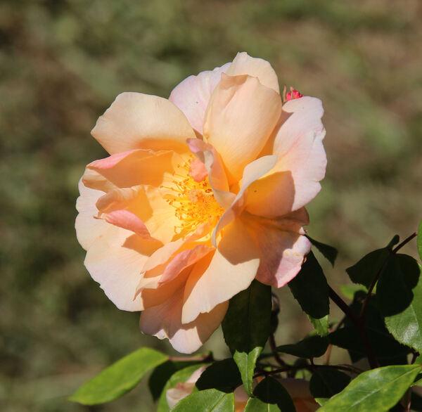 Rosa 'Crépuscule'