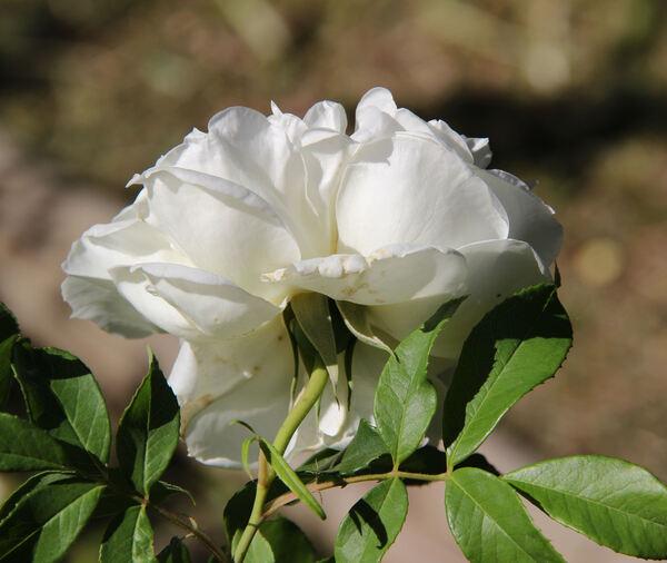 Rosa 'Lamarque'