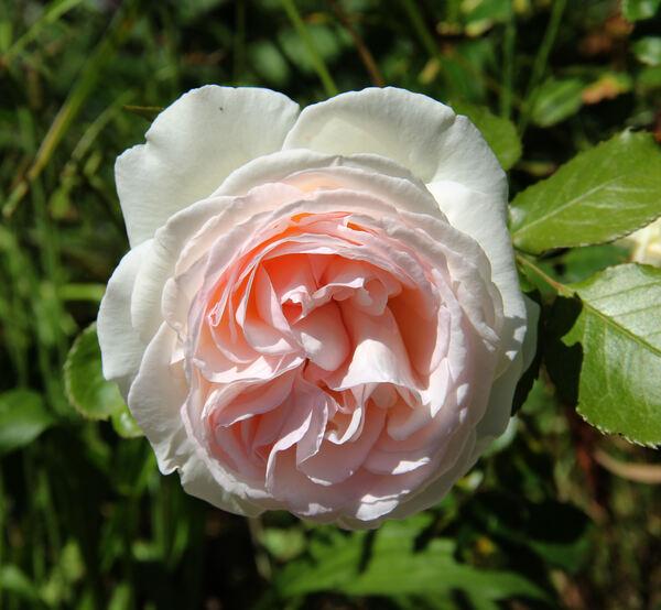 Rosa 'Palais Royal ®'