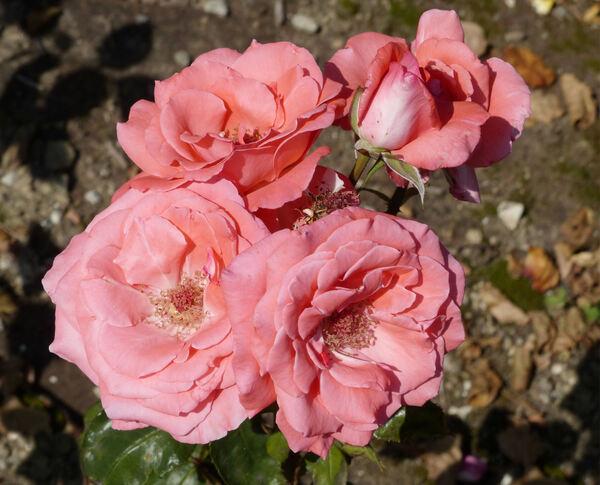 Rosa 'Leventina'