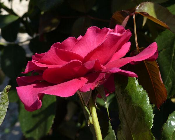 Rosa 'Charlotte Rampling ®'
