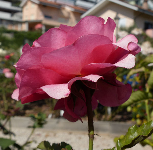 Rosa 'Rainy Day ®'