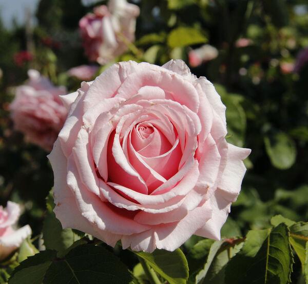 Rosa 'Frederic Mistral ®'