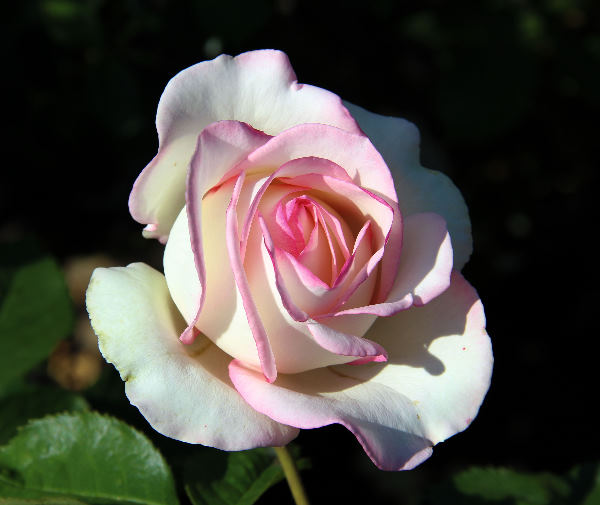 Rosa 'Moonstone ™'