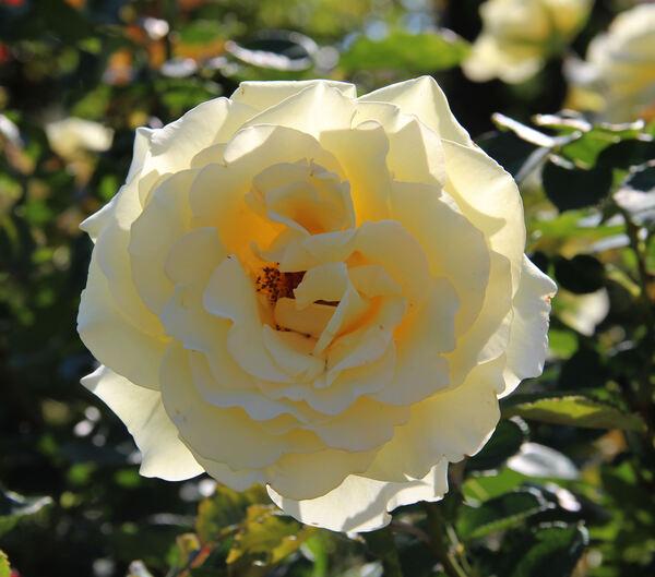 Rosa 'Elina ®'