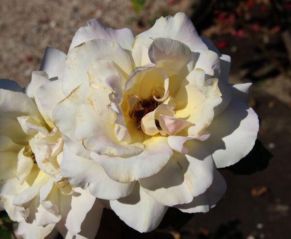 Rosa 'Mon Jardin et Ma Maison'