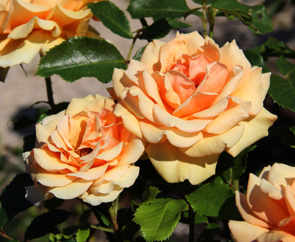 Rosa 'Simply The Best ®'
