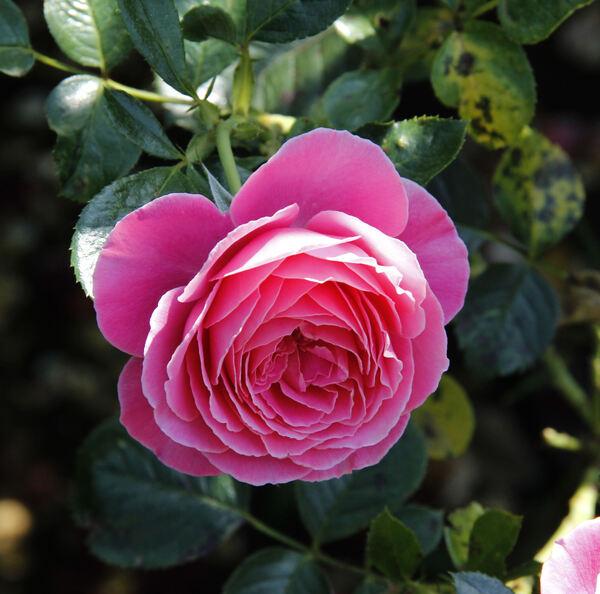 Rosa 'Gemma'