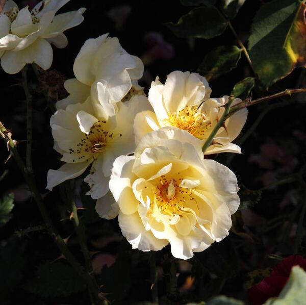 Rosa 'Ava Rose'