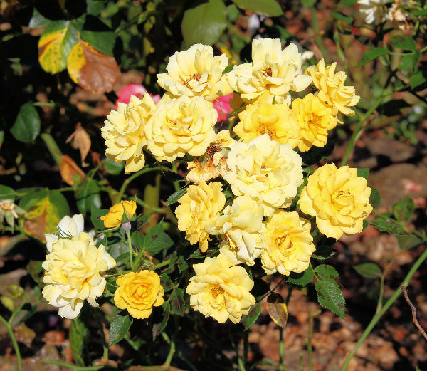 Rosa 'Yellow Euphoria'