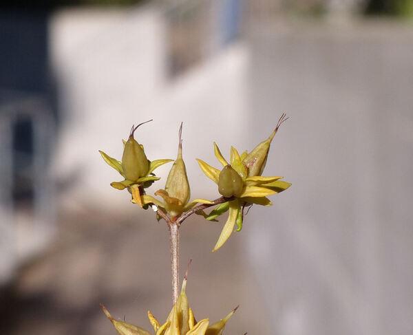 Hypericum kalmianum L.