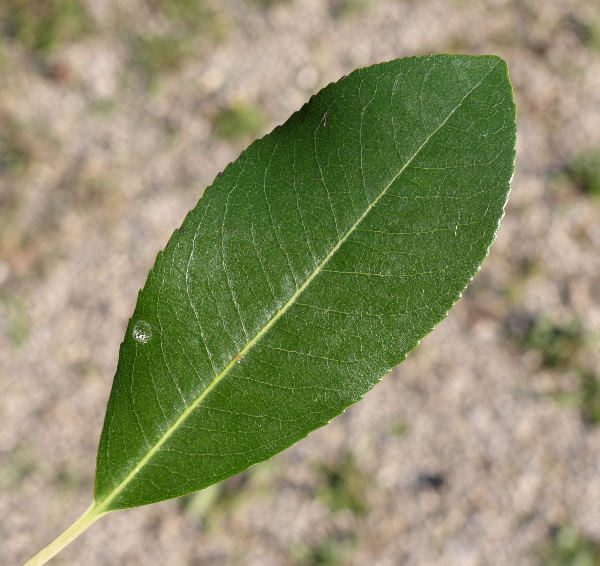 Arbutus unedo L.