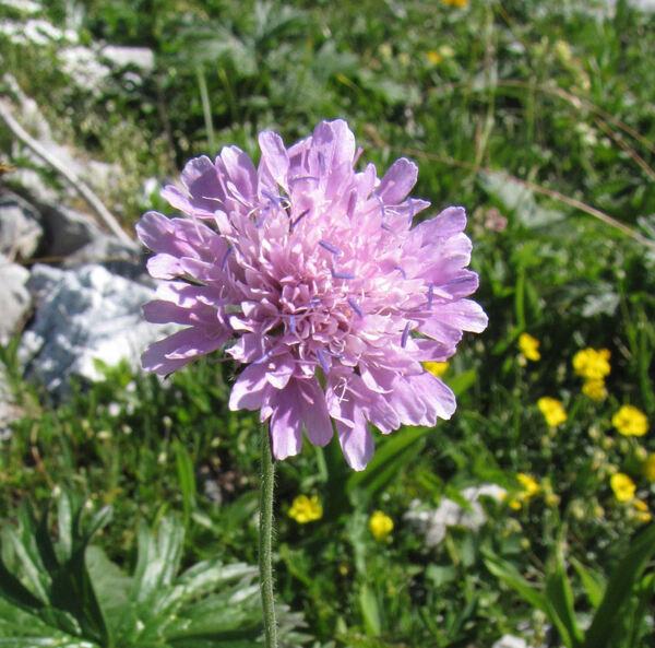 Knautia drymeja Heuff. subsp. intermedia (Pernh. & Wettst.) Ehrend.