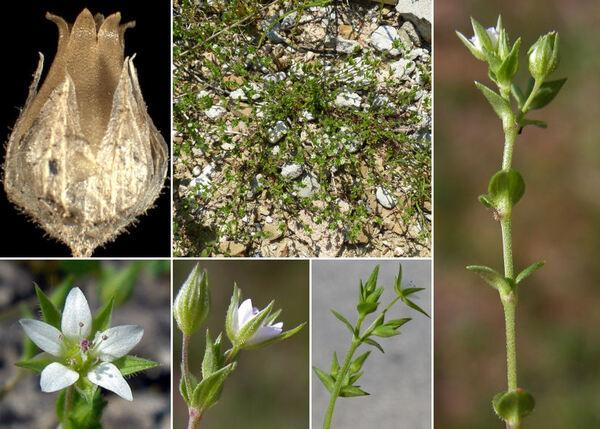 Arenaria serpyllifolia L. subsp. serpyllifolia