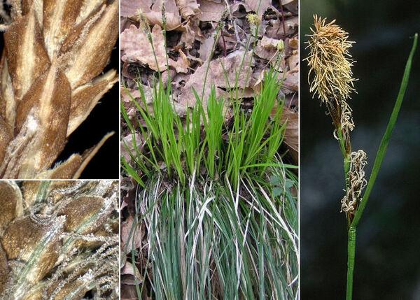 Carex umbrosa Host subsp. umbrosa