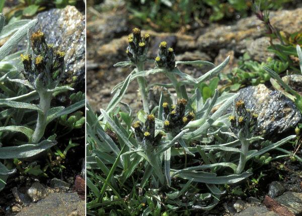 Omalotheca hoppeana (W.D.J.Koch) Sch.Bip. & F.W.Schultz