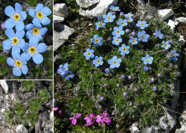 Eritrichium nanum (L.) Schrad. ex Gaudin var. terglouense (Hacq.) DC.