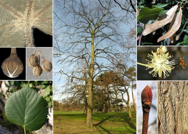 Tilia platyphyllos Scop. subsp. platyphyllos