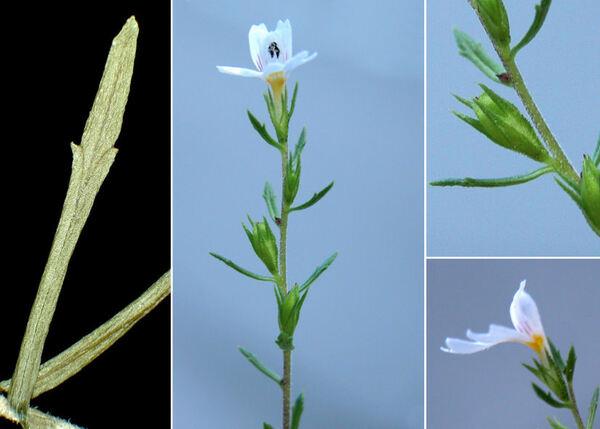 Euphrasia tricuspidata L.