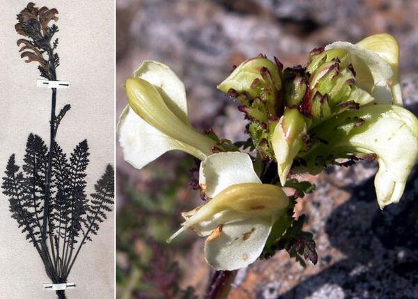 Pedicularis gyroflexa Vill.