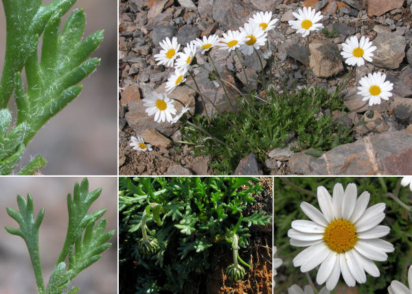 Leucanthemopsis alpina (L.) Heywood subsp. minima (Vill.) Holub