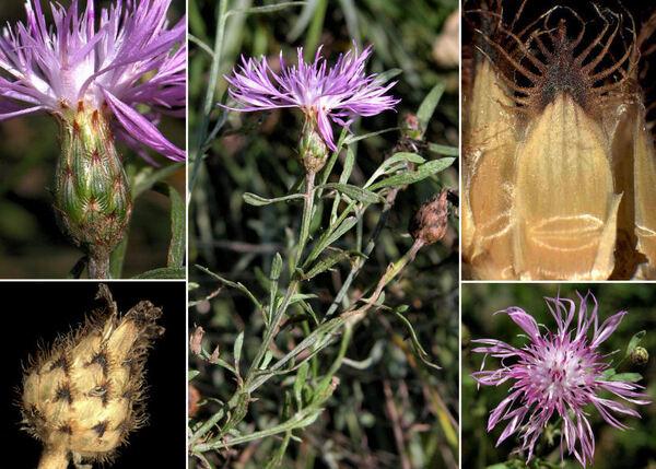 Centaurea stoebe L.