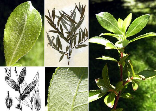 Salix daphnoides Vill.