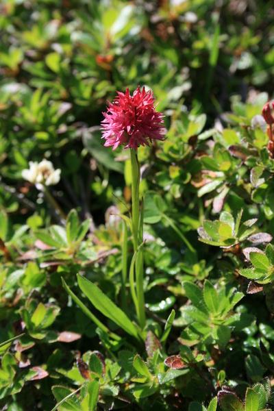 Nigritella miniata (Crantz) Janch.