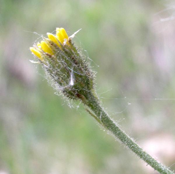 Hieracium tenuiflorum Arv.-Touv.