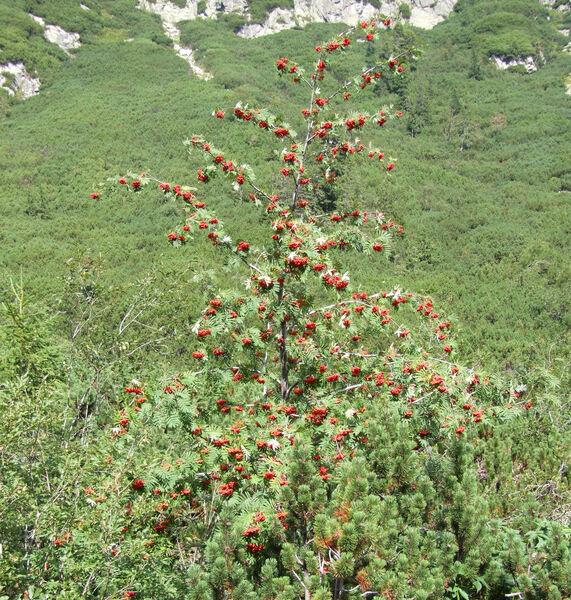 Sorbus aucuparia L. subsp. glabrata (Wimm. & Grab.) Hedl.