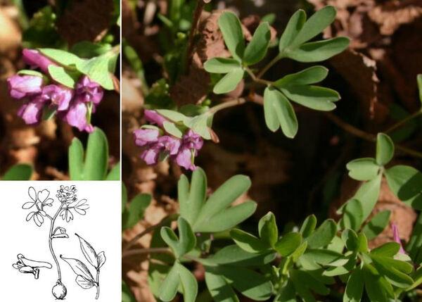 Corydalis intermedia (L.) Mérat