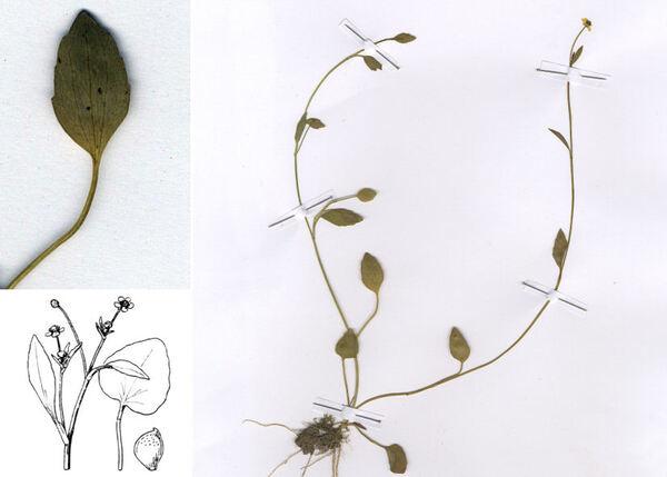 Ranunculus ophioglossifolius Vill.
