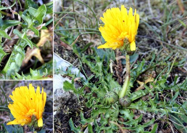 Taraxacum sect. Alpestria Soest