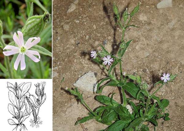 Silene noctiflora L.