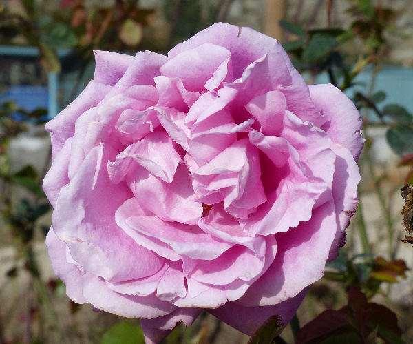Rosa 'Pink Peace ®'