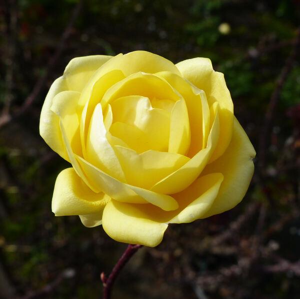 Rosa 'Emil Nolde'
