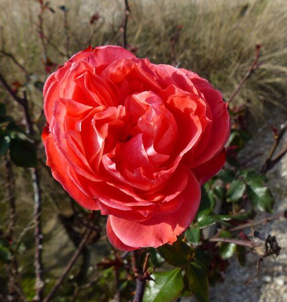 Rosa 'Rose Dot'