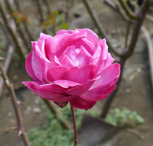 Rosa 'Criterion'