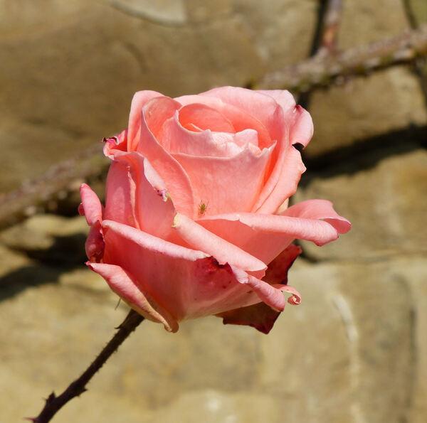 Rosa 'Grimpant Sonia Meilland'