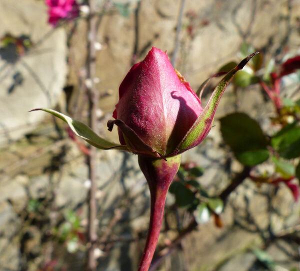Rosa 'Parade'