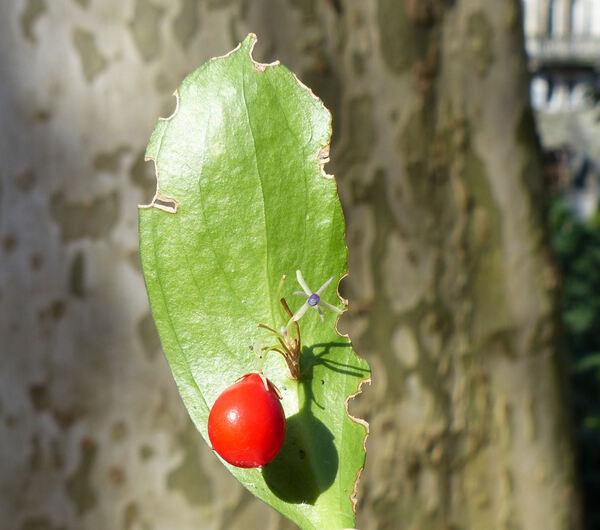 Ruscus hypoglossum L.
